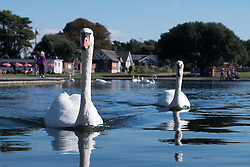 © Licensed to London News Pictures. 02/10/2016. Southsea, Hampshire, UK.  Swans on Southsea Canoe Lake in the warm and sunny weather during another stunning autumn day. Photo credit: Rob Arnold/LNP