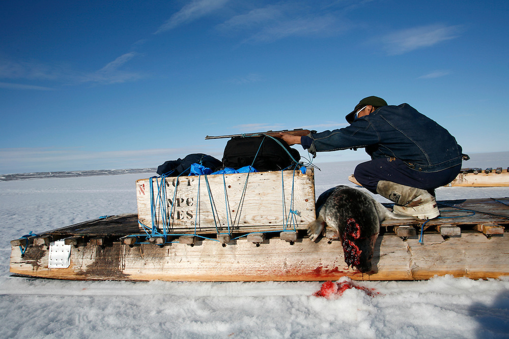 Sasa Samson, age 37, the best Inuit hunter in the Inuit town of Resolute Bay, Canada, hunts seals with a gun on Tuesday, June 12, 2007.  Sasa hunts seals for food, and his community uses every part of the seals, either eating the meat or using the hides to make warm clothes. Sasa often stands next to the breathing hole of the seal without moving for 30 minutes or more to capture the animal with his hooked stick when it rises to the surface to breathe.   The traditional way of life in the Resolute Bay Inuit community is being threatened by rising temperatures.  The dangers of global warming, which have been extensively documented by scientists, are appearing first, with rapid, drastic effects, in the Arctic regions where Inuit people make their home.  Inuit communities, such as those living on Resolute Bay, have witnessed a wide variety of changes in their environment.  The ice is melting sooner, depleting the seal population and leaving them unable to hunt the animals for as long.  Other changes include seeing species of birds and insects (such as cockroaches and mosquitoes) which they have never encountered before.  The Inuit actually lack words in their local languages to describe the creatures they have begun to see...