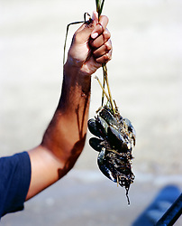 detail of a man's hand holding up mussels from the bay in East Hampton, NY