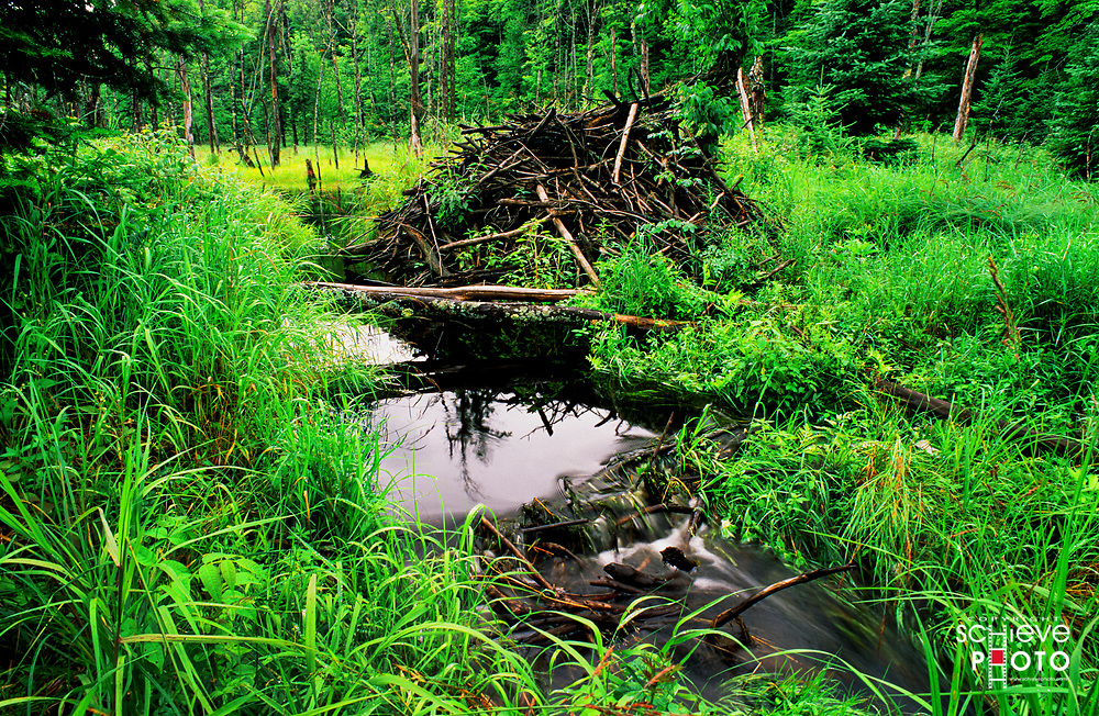 Beaver hut in the Chequamegon National Forest in northern Wisconsin.