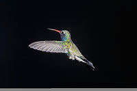 Broad-billed Hummingbird (Cynanthus latirostris) hovering, Ajijic, Jalisco, Mexico