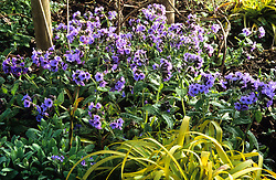 Pulmonaria saccharata (Lungwort) with Luzula sylvatica 'Aurea' (Great wood-rush) at Great Dixter in early spring