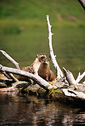 Two otters on a log on a lake in Yellowstone