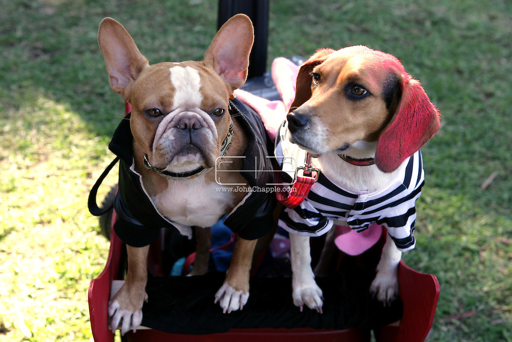 31st October 2009. Long Beach, California. The Haute Dog Howl'oween Parade in Long Beach. Pictured is Petee the French Bulldog and Nikki the Beagle as characters from the movie Greece PHOTO © JOHN CHAPPLE / www.chapple.biz.john@chapple.biz  (001) 310 570 9100.