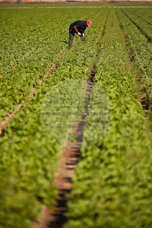 A Mexican agriculture worker in a field of lettuce in the Imperial Valley Niland, CA.