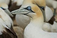 Cape & Australian Gannet Hybrid