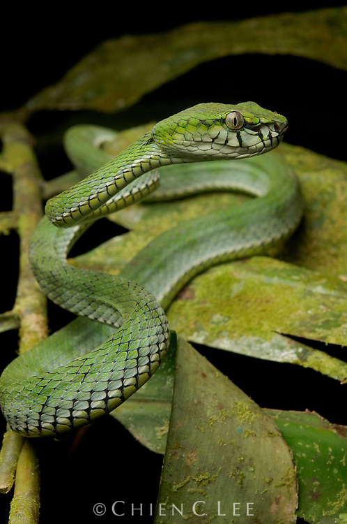 The Sumatran Pit Viper (Parias sumatranus) is a highly venomous species, ranging throughout much of Southeast Asia.  Like other green vipers it is an arboreal ambush predator. Sarawak, Malaysia.