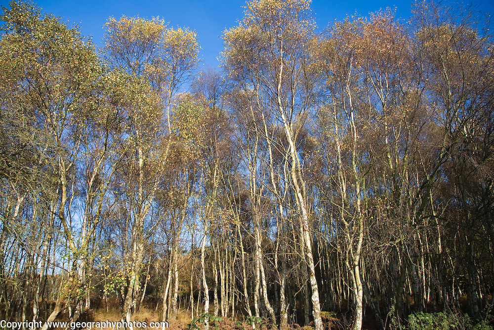 Betula pendula silver birch trees autumn Suffolk Sandlings heathland, Dunwich forest, Suffolk, England