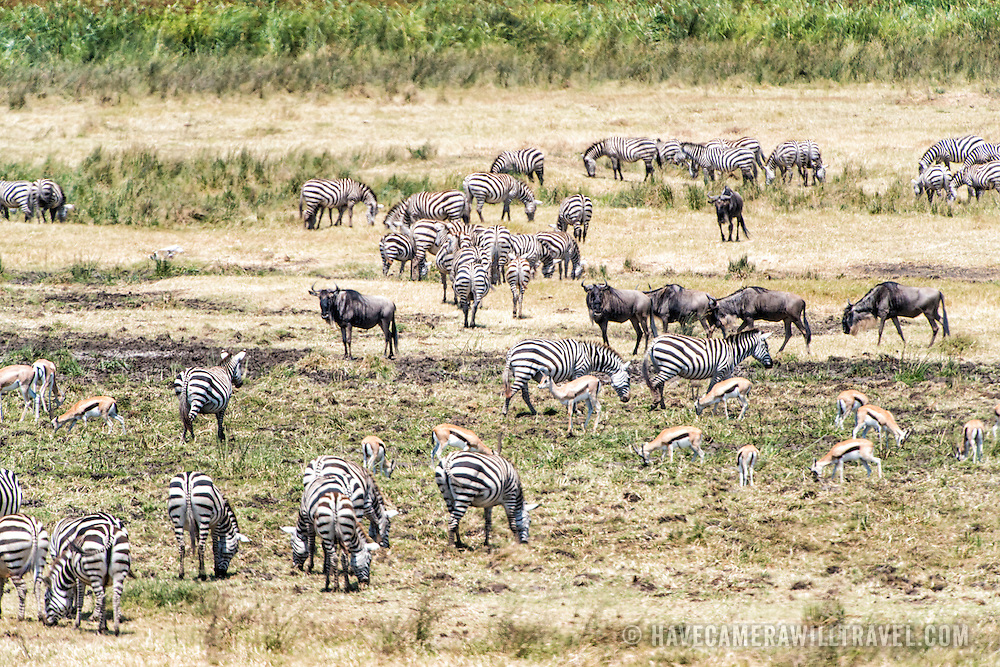 Zebras, Thomson's gazelles, and wildebeest graze in a marshy section at Ngorongoro Crater in the Ngorongoro Conservation Area, part of Tanzania's northern circuit of national parks and nature preserves.