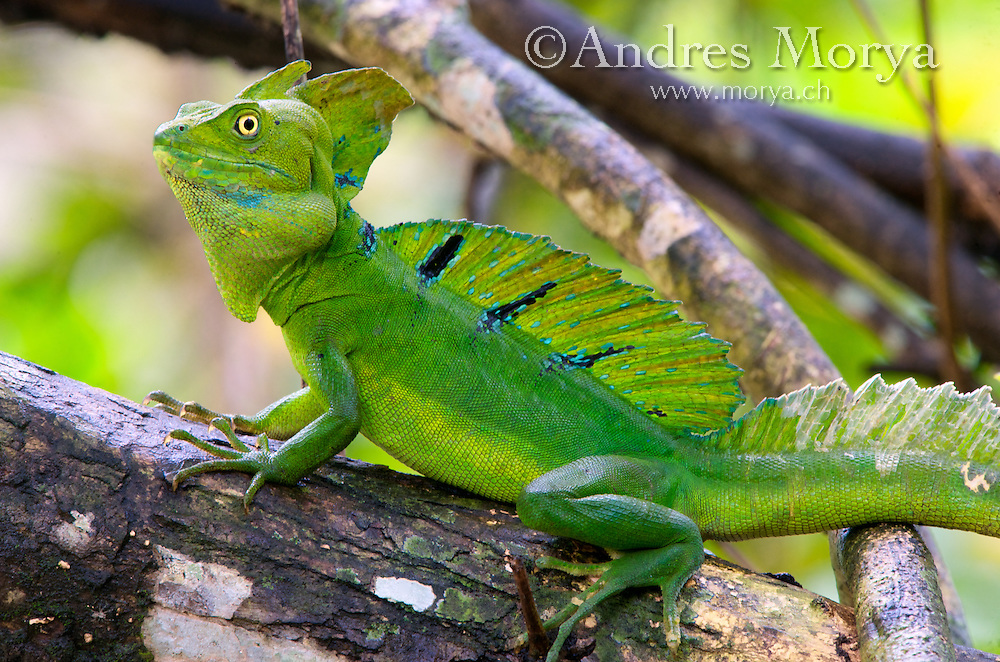 Green Basilisk Lizard or JESUS CHRIST LIZARD (Basiliscus plumifrons), Central America Image by Andres Morya