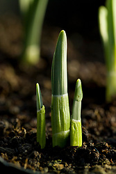 New shoots of Narcissus 'Bell Song' pushing up through the soil