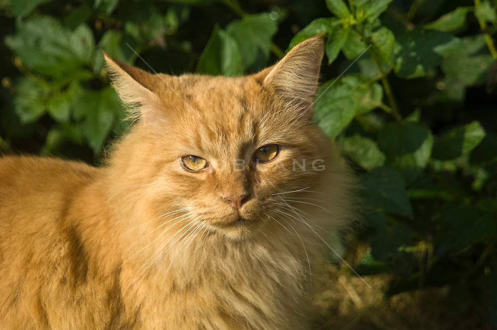 Long haired orange tabby cat