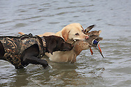 A ten-year-old yellow lab doesn't want a six month old chocolate pup to help with a retrieve during a Manitoba Waterfowl Hunt