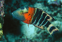 Red-banded wrasse in Apo Reef.