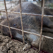 TOMIOKA TOWN, JAPAN - MARCH 30 : Wild boars killed by a pellet gun is seen inside a booby trap at a residential area near Tokyo Electric Power Co's (TEPCO) tsunami-crippled Fukushima Daiichi nuclear power plant in Tomioka town, Fukushima prefecture, Japan, March 30, 2017. (Photo by Richard Atrero de Guzman/NUR Photo)