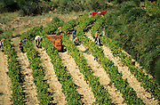 Grape harvest (vendange) Cote-du-Rhone vineyard;.Vaucluse; Provence; France