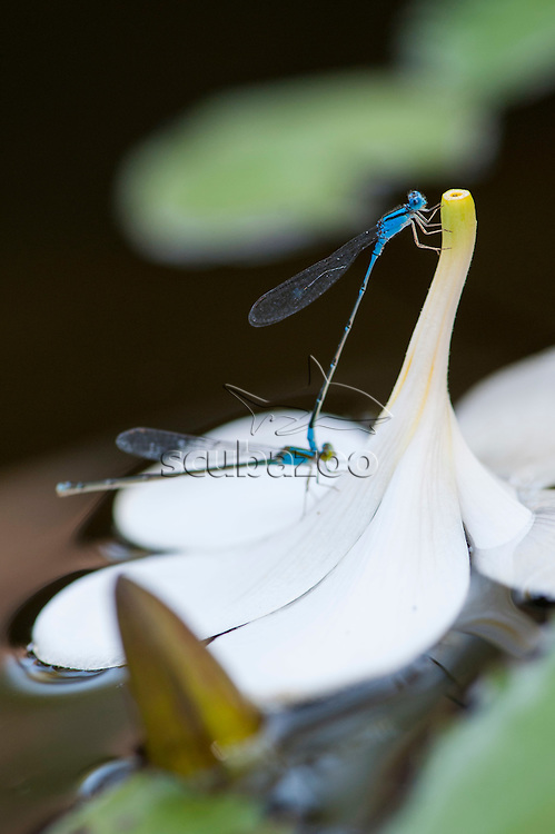 A pair of blue-eyed damselfly, Erythromma lindenii on top of a water lily flower, Spa Village Resort, Tembok, Bali, Indonesia.