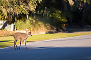 A deer crosses a road on Fripp Island, SC.