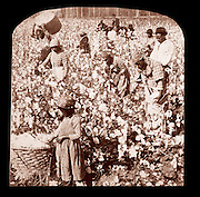 Blacks picking cotton in the American South, circa 1900