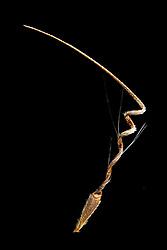 Storksbill (Erodium cicutarium) - Reiherschnabel