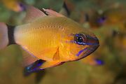 Cardinalfish (Apogon aureus) - Milne Bay, PNG