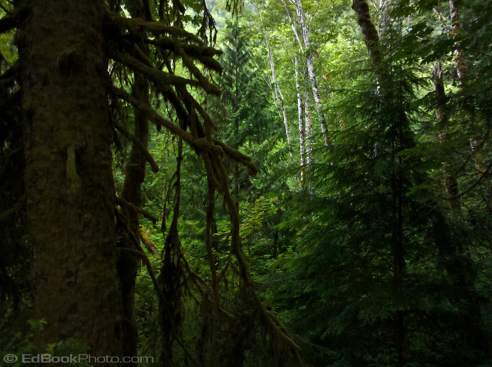 an opening in a Kitsap Peninsula temperate rain forest brings light into the forest.