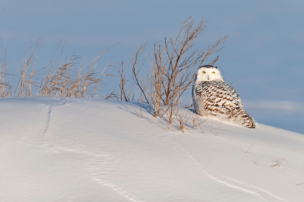 Snowy Owl, Bubo scandiacus, Chippewa County, Michigan