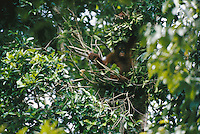 A young female orangutan (named Misha) practices building a simple nest in a tree.