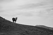 Pony grazing inthe Pyrenees Mountians