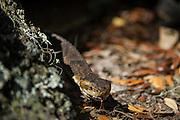 Cottonmouth (Agkistrodon piscivorus) or Water moccasin<br /> Little St Simon's Island, Barrier Islands, Georgia<br /> USA<br /> HABITAT & RANGE: