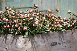 Picked peonies in crate