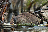 This beaver and his family live in a pond they created along Moose-Wilson Road in Grand Teton National Park. Using aspen logs cut from a nearby grove, this industrious family group dammed a nearby creek and and now live in a cone-shaped lodge they constructed in the still waters of the pond.
