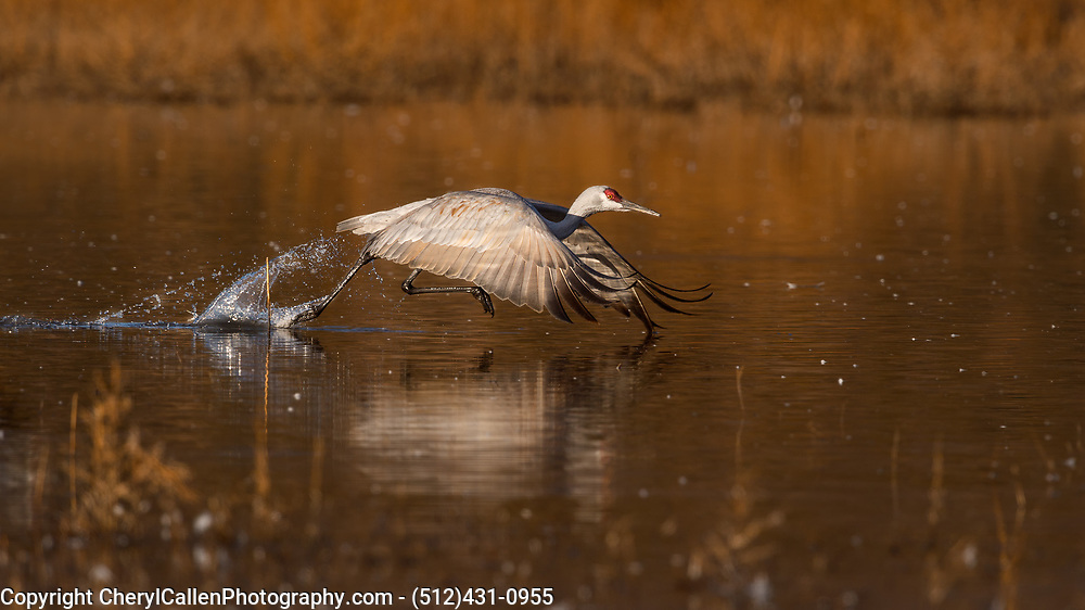 Sandhill Crane taking off in flight