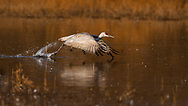 Sandhill Crane taking off in flight