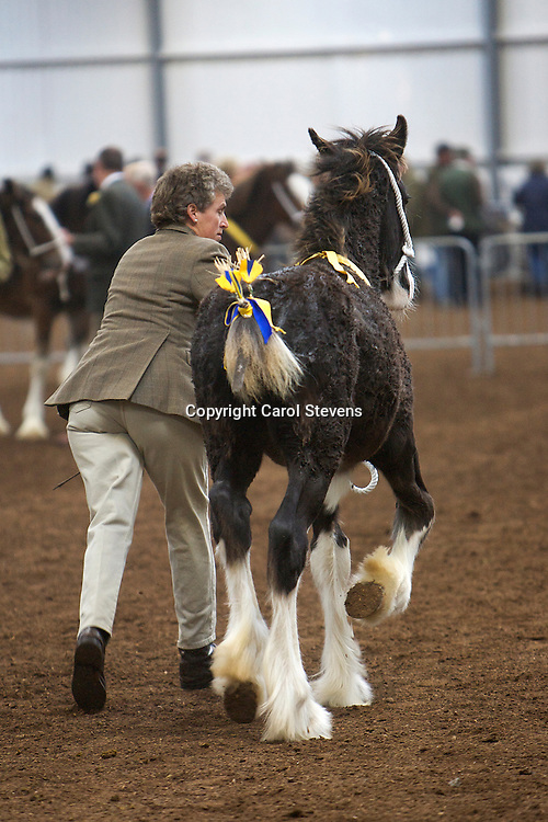 North West and Wales Shire Foal Society <br /> Show 2012<br /> Mr F Cosgrove &amp; Son's Hainton Thomas<br /> f  24/05/12<br /> Sire   Hainton Eardswick Ernie<br /> Dam   Alan's Black Magic