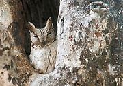 Oriental Scops Owl, Otis sunia, from Bandhavgarh National Park, India.