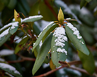 Rhododendron bush after a light snow. Images taken with a Nikon D700 camera and 80-400 mm VR lens (ISO 1250, 230 mm, f/5.6, 1/400 sec)