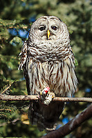 The Barred Owl at the Calgary Zoo was very active today.  It had a mouse that it was preapring to eat for lunch and it was parading around all over the place showing it off and looking for a good place to settle down to eat.<br /> <br /> ©2010, Sean Phillips<br /> http://www.Sean-Phillips.com