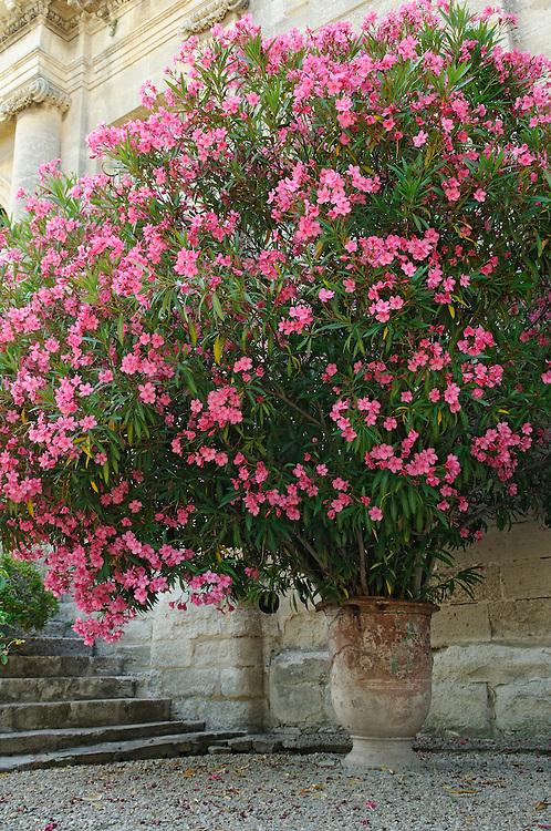 France, Languedoc Roussillon, Gard, Villeneuve-lez-Avignon, jardins de l'Abbaye Saint-André, laurier rose