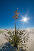 Yucca plant on sand dune, White Sands National Monument, New Mexico.