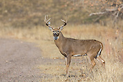 Mature whitetail buck stands on the shoulder of a gravel road.