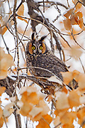 Stock photo of long-eared owl captured in Colorado.  This owled named for the tufts of feathers that look like ears. When threatened, this owl will raise the ear tufts and constrict it's feathers to look thinner and taller.