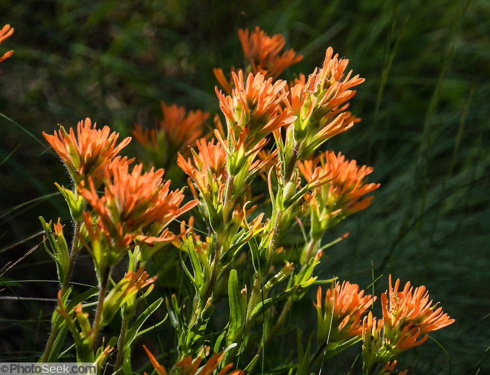 Indian Paintbrush (Castilleja) flowers bloom orange on Ninemile Ridge Trail, in the Blue Mountains, Umatilla National Forest, Pendleton, Oregon, USA. Castilleja (Indian Paintbrush or Prairie-fire) is a genus of about 200 species of annual and perennial herbaceous plants native to the west of the Americas from Alaska south to the Andes, plus northeast Asia. These plants are classified in the family Orobanchaceae and are hemiparasitic on the roots of grasses and forbs.