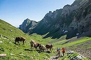 Cattle and hikers in Meglisalp pastures, on the trail to Rotsteinpass, in the Alpstein limestone mountain range, Appenzell Alps, Switzerland, Europe. Appenzell Innerrhoden is Switzerland's most traditional and smallest-population canton (second smallest by area).