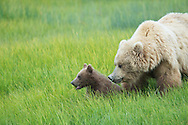 Coatal brown bears at Silver Salmon Creek Lodge, Lake Clark National Park, Alaska (20100722)