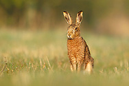 European Hare (Lepus europaeus) adult in field margin, South Norfolk, UK. March