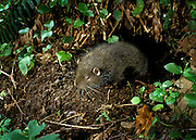 A wild mountain beaver (Aplodontia rufa) juvenile emerging from its burrow at night in the Mount Hood National Forest, Oregon.