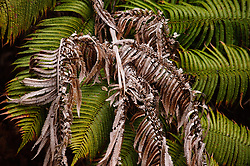 "The `ama`uma`u  or `ama`u for short, is a common fern found in the wet forests of Hawai`i Volcanoes National Park. The fern is a member of the Blechnum fern family and is endemic to Hawai`i. Halema`uma`u, the fire pit within Kilauea caldera, means ""the house of  `ama`uma`u fern.""  This fern was photographed on a connector trail between the Byron Ledge and Devastation trails near the Kilauea caldera."