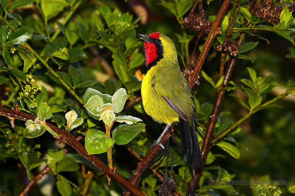 Doherty's Bushshrike, Telophorus dohertyi, The Ark, Aberdares, NP, Kenya, by Adam Riley