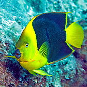 Queen Angelfish inhabit reefs and surrounding areas in Tropical West Atlantic; picture taken Gramd Turk.